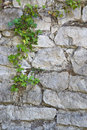 Old white stone wall and ivy background Royalty Free Stock Photo