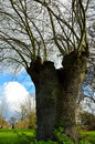 Old Willow Tree