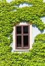 Old window framed by the vine bamberg geemany Royalty Free Stock Photo