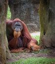 Old wise orangutan Royalty Free Stock Photo