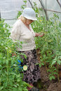 The old woman in a hothouse waters tomatoes Stock Images