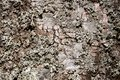 Old wood tree bark cortex texture with moss. Old birch tree. Selective focus. Royalty Free Stock Photo
