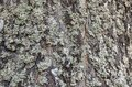 Old wood tree bark cortex texture with moss. Old birch tree. Selective focus Royalty Free Stock Photo