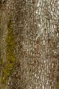 Old wood tree bark texture with green moss. Royalty Free Stock Photo