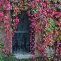 Old wooden door overgrown with ivy Royalty Free Stock Photo