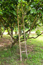 Old wooden staircase and tree for keep up the fruit Stock Photos