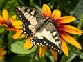 Old World Swallowtail Royalty Free Stock Photo