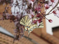 Old World Swallowtail Butterfly on a flower Royalty Free Stock Image