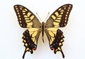 Old World Swallowtail