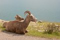 Old and young Big Horn Sheep Stock Images