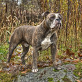 Olde english bulldog in hdr a powerful Stock Image