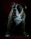 Olde english bulldog portrait a mounth old male of blue brinkle in studio Stock Image
