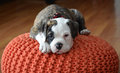 Olde english bulldog puppy resting on orange poof Stock Photo