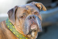 Olde english bulldogge a close up portrait of an Royalty Free Stock Photo