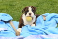 Olde english bulldogge puppy with ball and baseball bat an sits on a blanket in the green grass while chewing on a tennis Stock Photo
