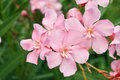 Oleander Royalty Free Stock Photo