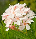 Oleander Stock Photography