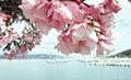 Oleander Стоковое фото RF