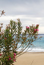 Oleander on beach blossoming nerium a in greece Stock Images