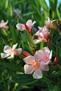 Oleander blooming pink flowers of evergreen shrub Royalty Free Stock Photo