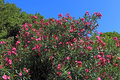 Oleander branches and plant flowers against the blue sky Royalty Free Stock Photo