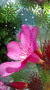 The oleander flower Royalty Free Stock Photo