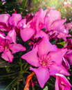 Oleander flower pink in sunlight Stock Images