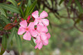 Oleander flowers of beautiful pink Stock Photos