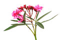 Oleander flowers nerium apocynaceae the blossoming branch of a pink isolated on a white background Royalty Free Stock Image