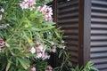 Oleander flowers on tropical garden wooden door texture Royalty Free Stock Images