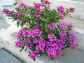 Oleander growing from concrete in the middle of staircase Royalty Free Stock Photography