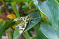 Oleander hawk moth or army green moth butterfly on leaf Stock Photography