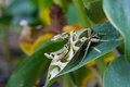 Oleander hawk moth or army green moth butterfly on leaf Stock Photo