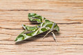 Oleander hawk moth close up of or army green daphnis nerii perching on old plank of wood side view Stock Images