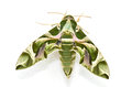 Oleander Hawk moth (Daphnis nerii) Stock Photos