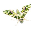 Oleander hawk moth isolate on white background Royalty Free Stock Image