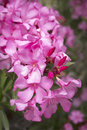 Oleander nerium oleander closeup outside Royalty Free Stock Photography