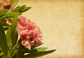 Oleander old paper with pink flowers Stock Photo
