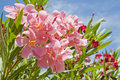 Oleander pink and red Stock Image