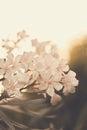Oleander white flowering nerium Royalty Free Stock Photo