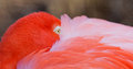 Olho do flamingo Fotografia de Stock Royalty Free