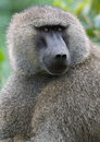Olice baboon Royalty Free Stock Images