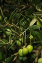 Olive 12 Royalty Free Stock Images