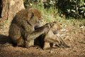 Olive baboon caring for a young one Royalty Free Stock Photography