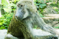 Olive baboon green papio cynocephalus also known as the in marley ethiopia and northern tanzania their large and strong Stock Images