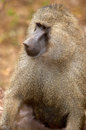 Olive baboon male resting serengeti africa Royalty Free Stock Photos