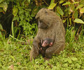 Olive baboon mother and baby in murchison falls national park in uganda Royalty Free Stock Image