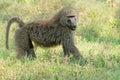 Olive baboon an papio anubis lake nakuru national park kenya Royalty Free Stock Photos