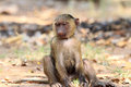 Olive baboon papio anubis in mole national park ghana west africa Stock Images