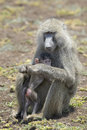 Olive baboon papio anubis mother with young in her arms lake manyara national park tanzania Royalty Free Stock Image